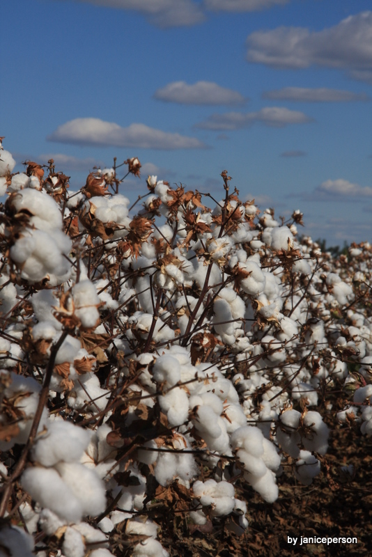 cotton row at harvest