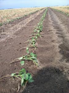 windblown cotton seedlings in NE Ark