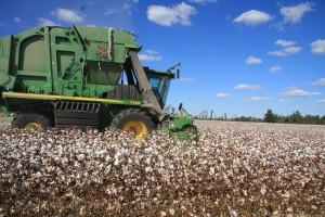cotton picker in the field