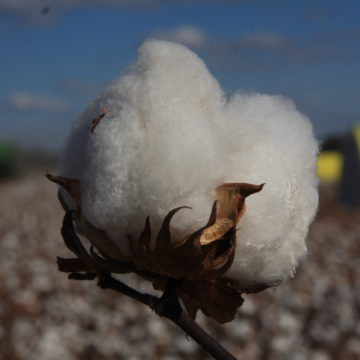 cotton boll at harvest time