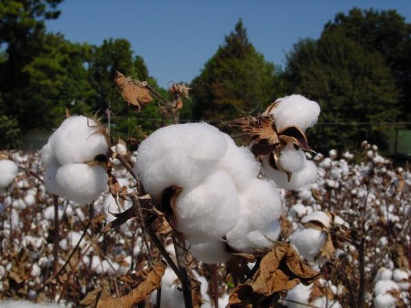 cotton plant at harvest time