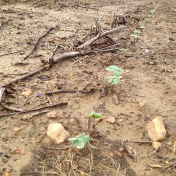 little cotton plants in the field