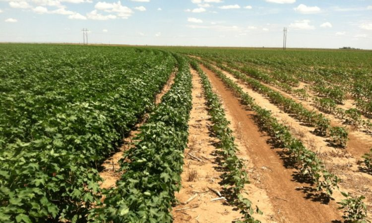 irrigated & dryland side-by-side