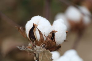 close up of cotton boll