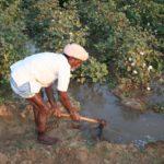 Indian cotton farmer irrigating