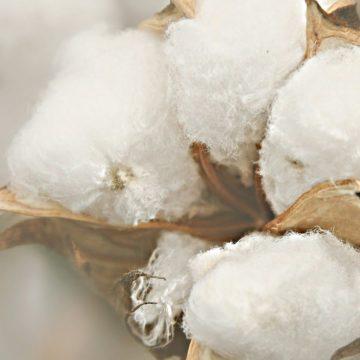 cotton blogs