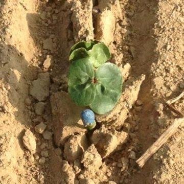 cotton emerging!