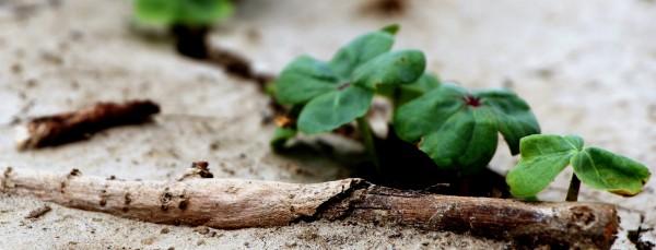 cotton plants breaking through soil