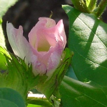 pink cotton bloom