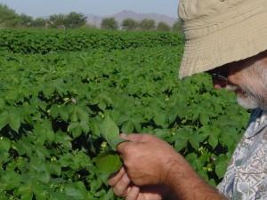 cotton breeder Larry Burdett