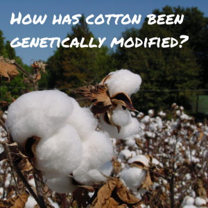 How has cotton been genetically modified