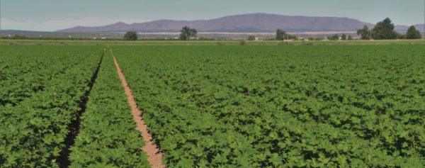 2016 cotton crop New Mexico