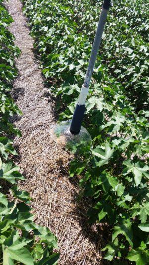 Texas High Plains cotton 2016 kress