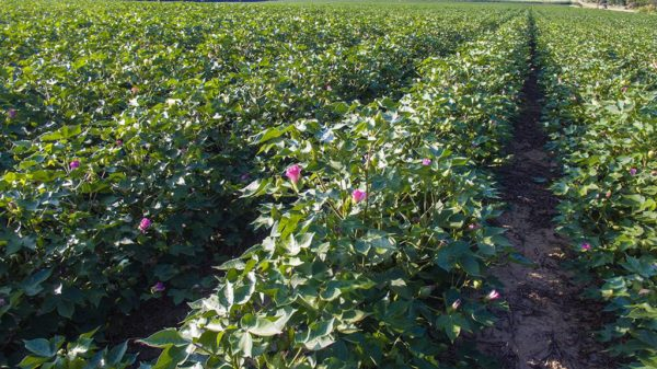 July cotton near Memphis