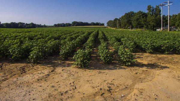 edge of cotton field