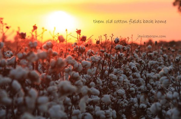 them-old-cotton-fields-back-home