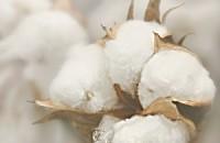 cotton boll close up