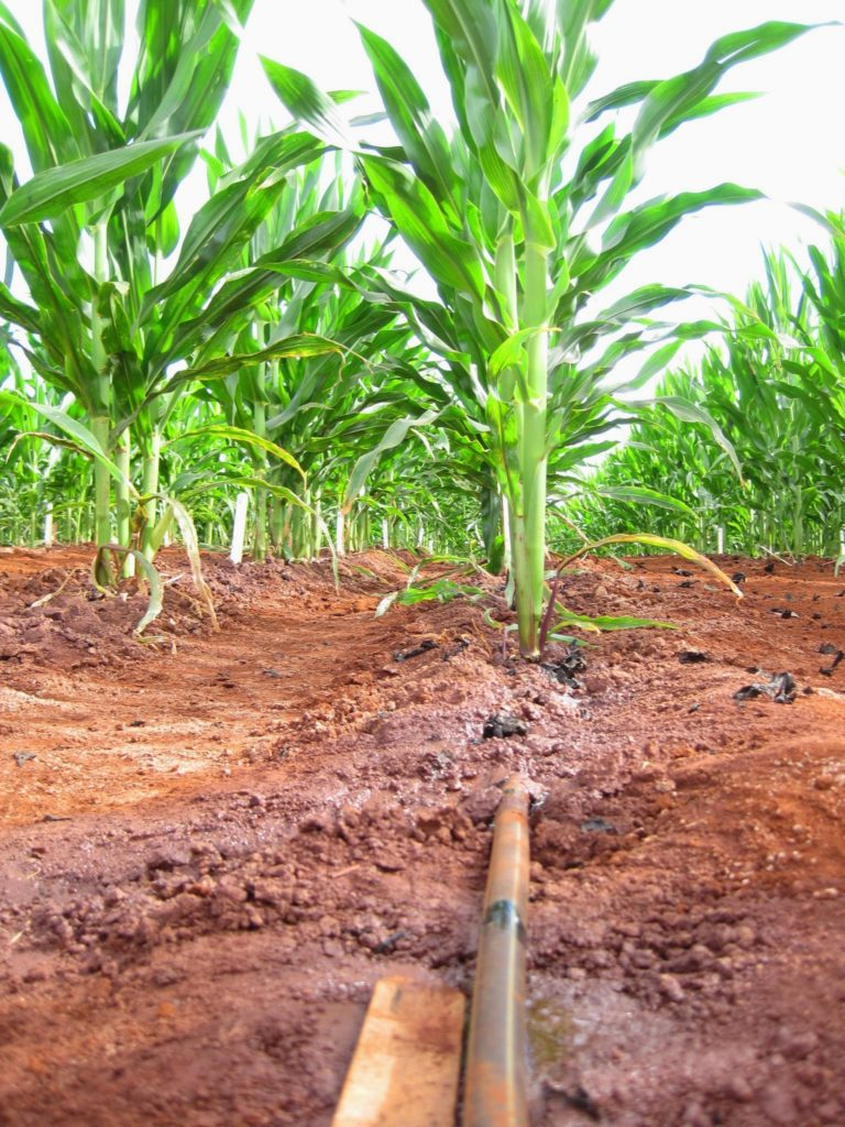 drip irrigation in corn